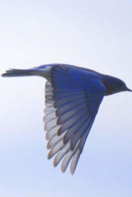 Bluebird Sing